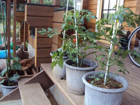 鉢植えにしたトマトとキュウリ